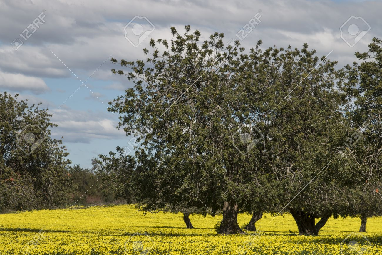 View Of An Carob Tree Orchard In A Field Of Yellow Flowers In