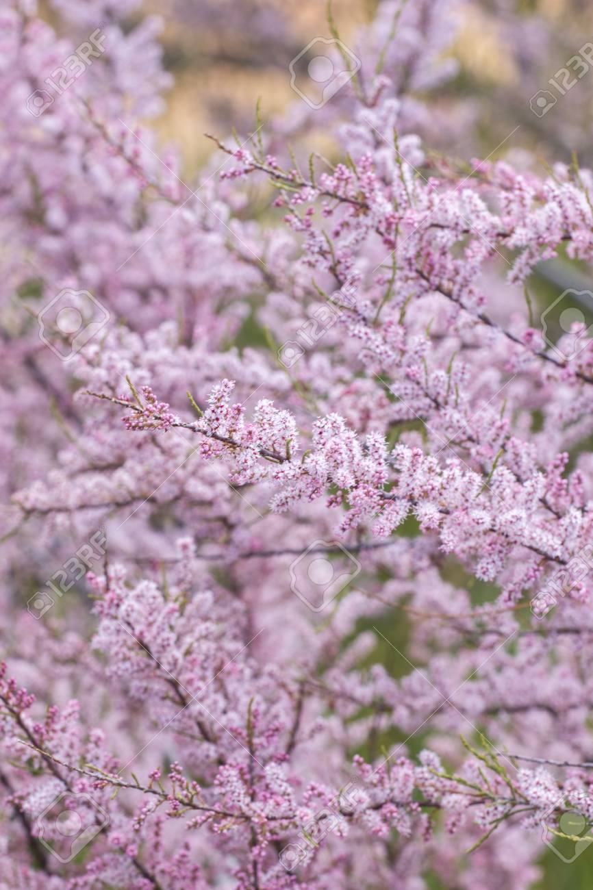 Close up view of the beautiful flowers of the tamarisk salt cedar close up view of the beautiful flowers of the tamarisk salt cedar shrub stock photo izmirmasajfo