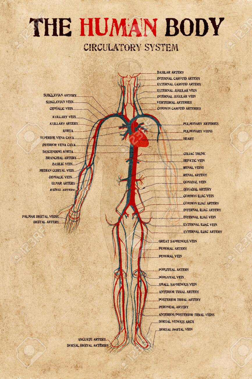 human circulatory system diagram human body circulatory system diagram on very old paper stock  human body circulatory system diagram