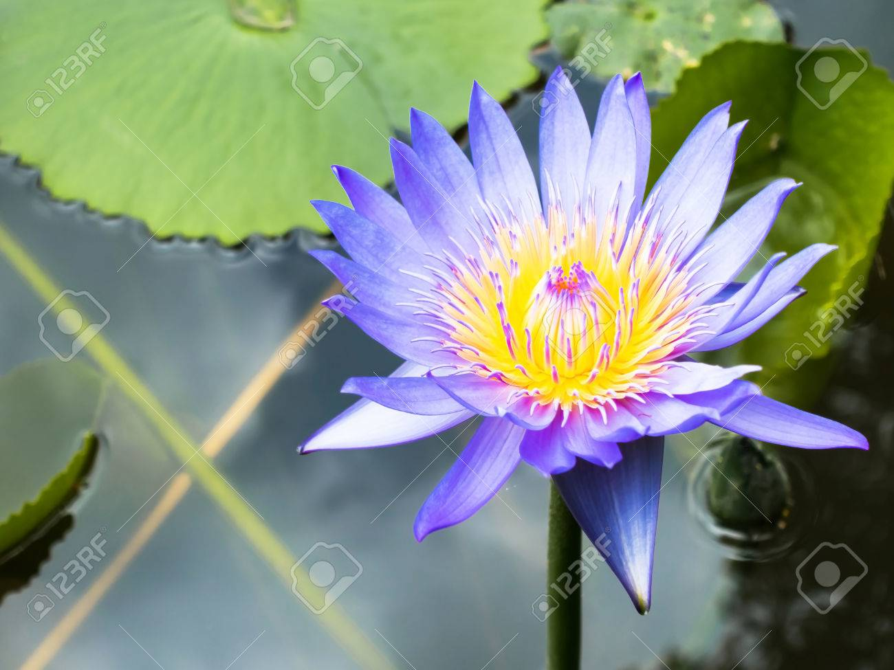 Lotus Is Water Lily That Can Use For Alternative Medicine And
