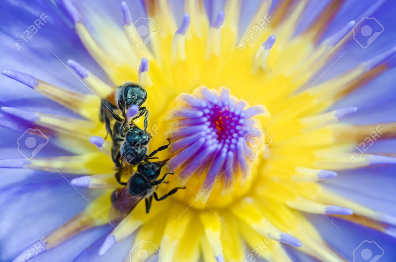 Bee On Lotus Water Lily That Can Use For Alternative Medicine
