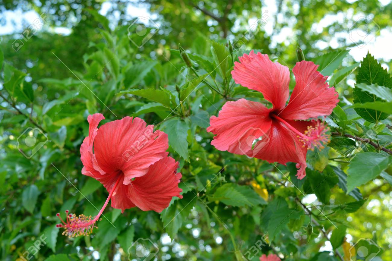 Red Hibiscus Flower Full Blooming On A Tree In Sunny Day Stock Photo