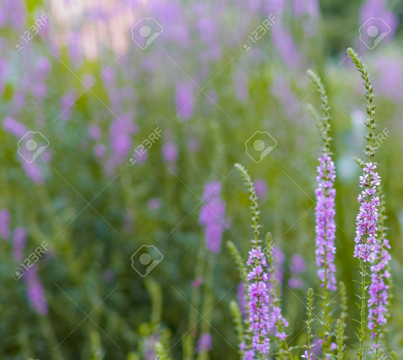 Beautiful lavender flowers on blur background stock photo picture beautiful lavender flowers on blur background stock photo 82664416 izmirmasajfo