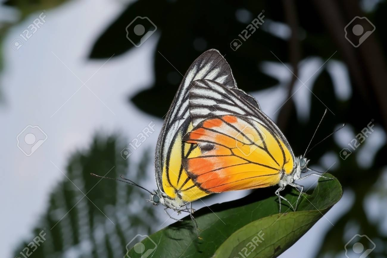 A beautiful butterflies are mating in the garden Stock Photo - 17037455