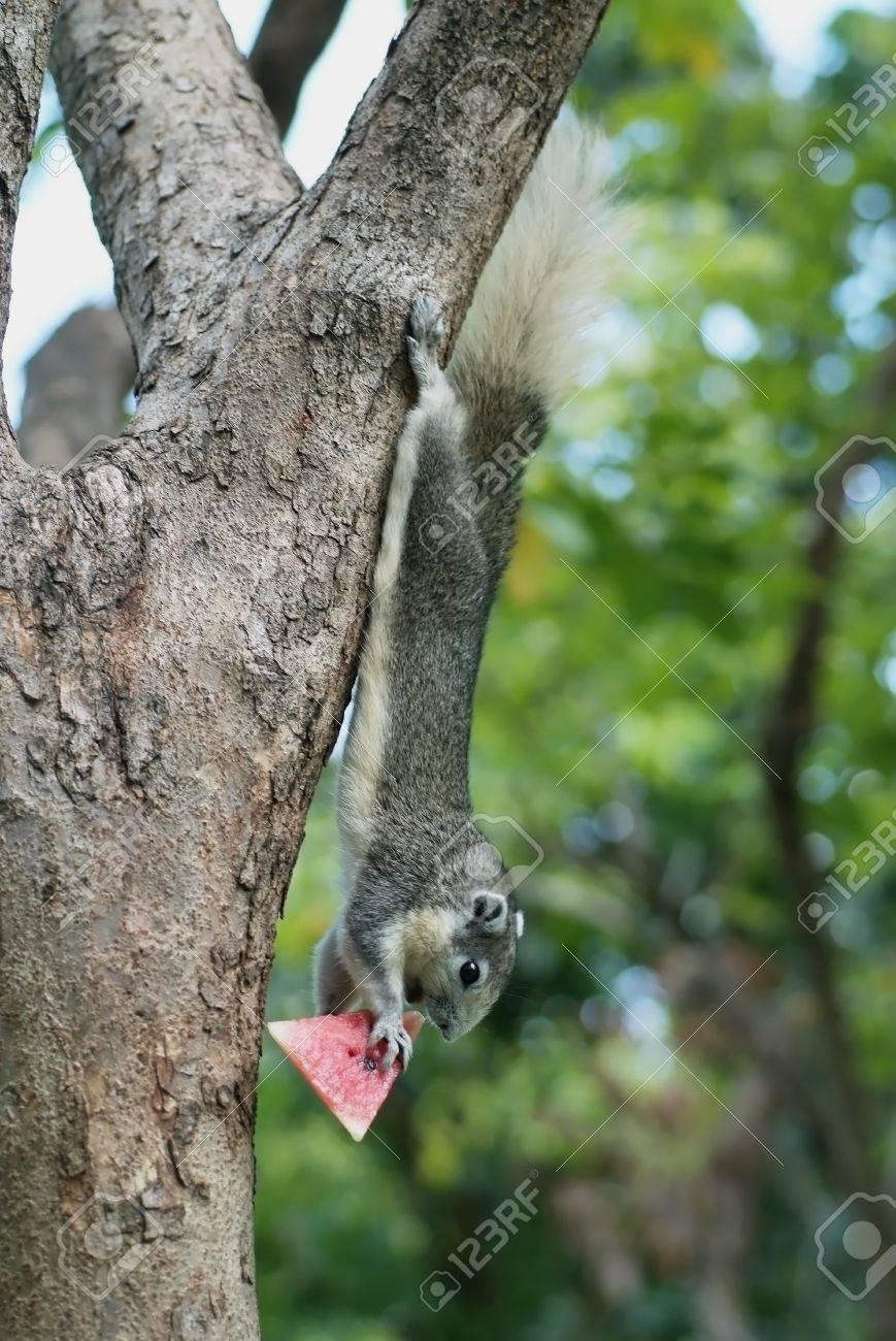 un petit écureuil mangeant la pastèque sur un arbre dans le parc