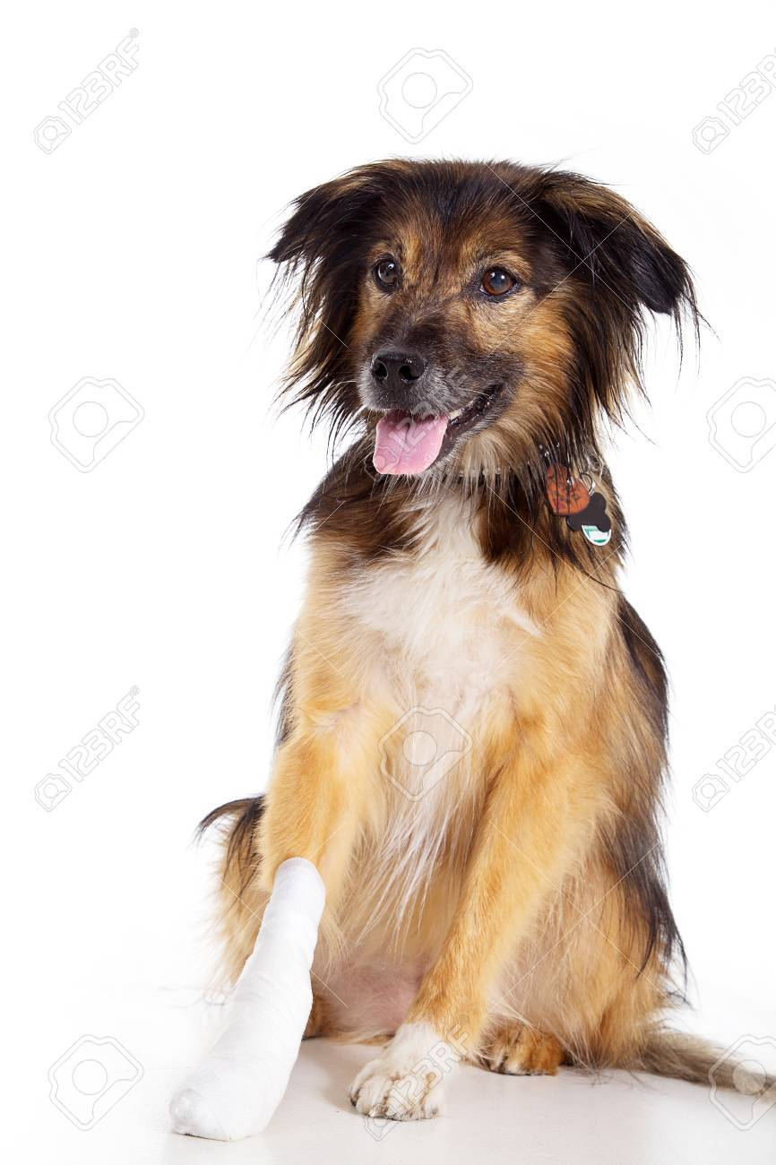 beautiful dog with bandage with paw - 28739221