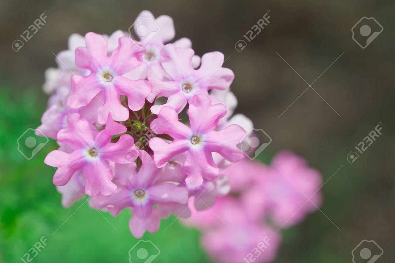 rose verveine fleur dans le jardin banque d'images et photos