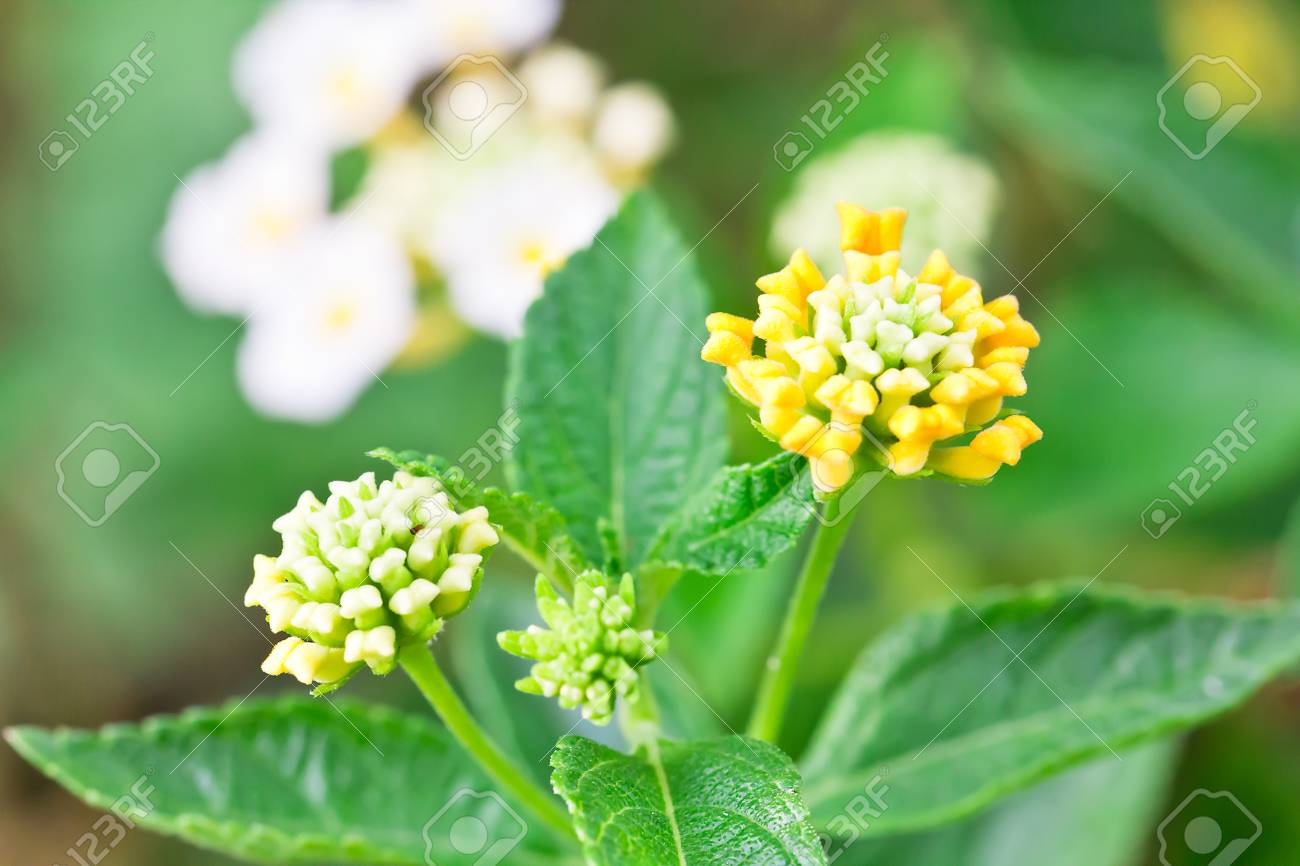 A close up of a pink and yellow lantana camara flower in the garden Stock Photo - 14569395