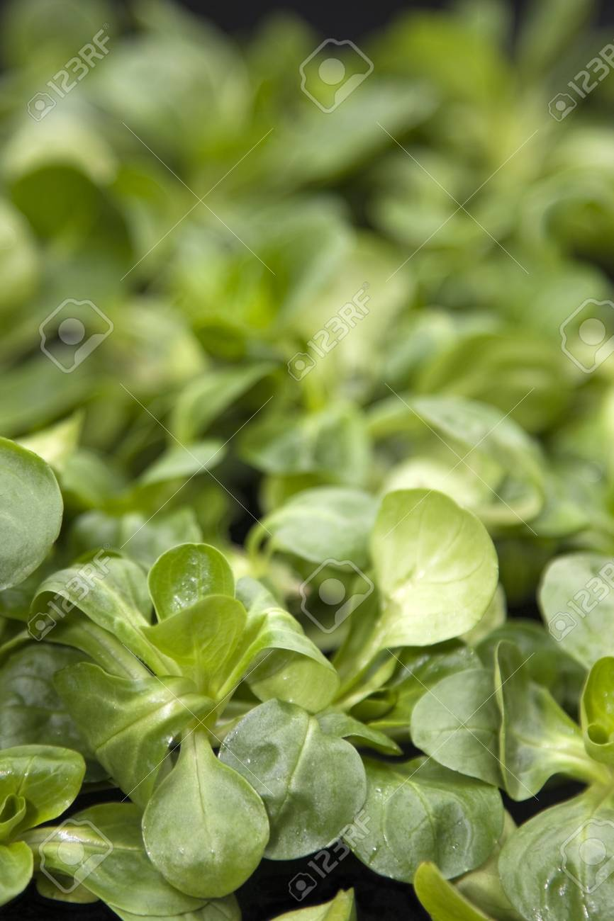 Watercress leaves for the preparation of dishes in the kitchen Stock Photo - 6755755