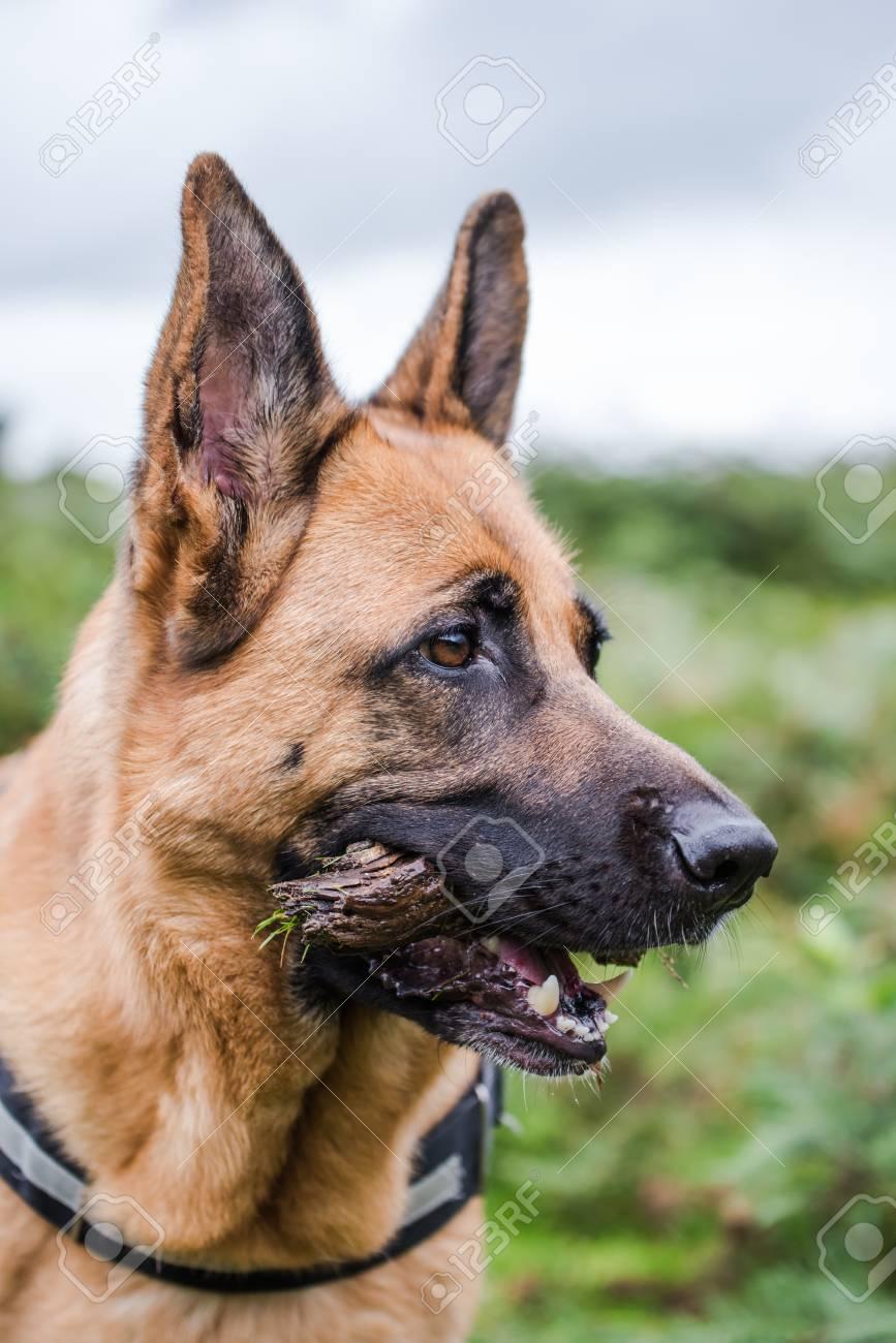 german shepherd face