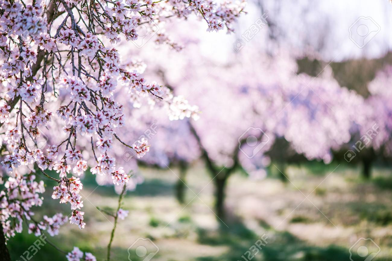 Almond tree blooming in orchard at spring in pastel colors - 74111550