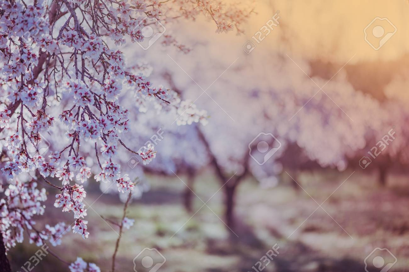 almond tree blooming in orchard at spring in pastel colors stock
