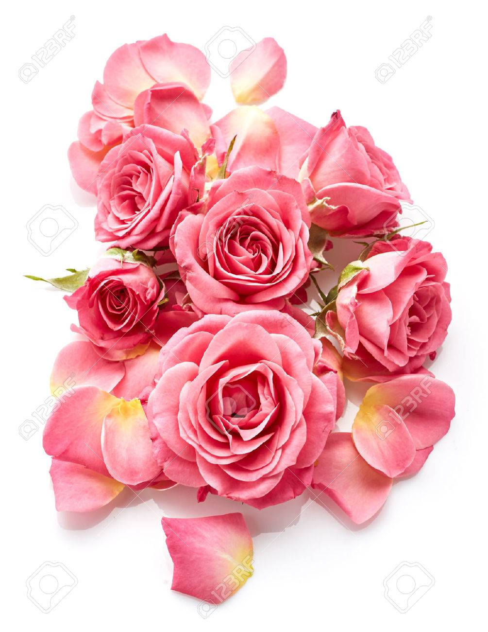 Pink roses isolated on white background - 46267830