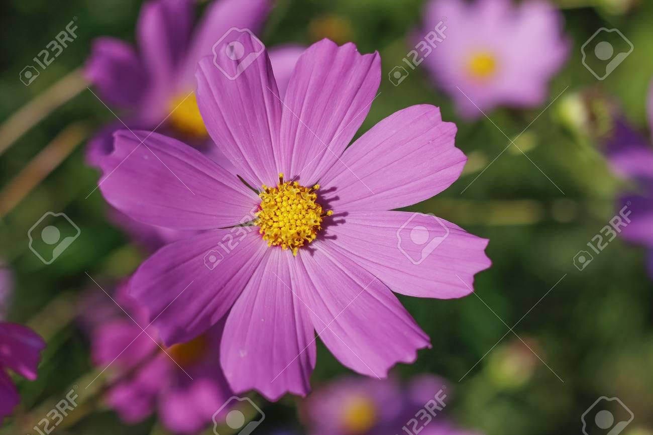 Pink purple flower like a daisy in the light of the setting stock pink purple flower like a daisy in the light of the setting sun stock izmirmasajfo
