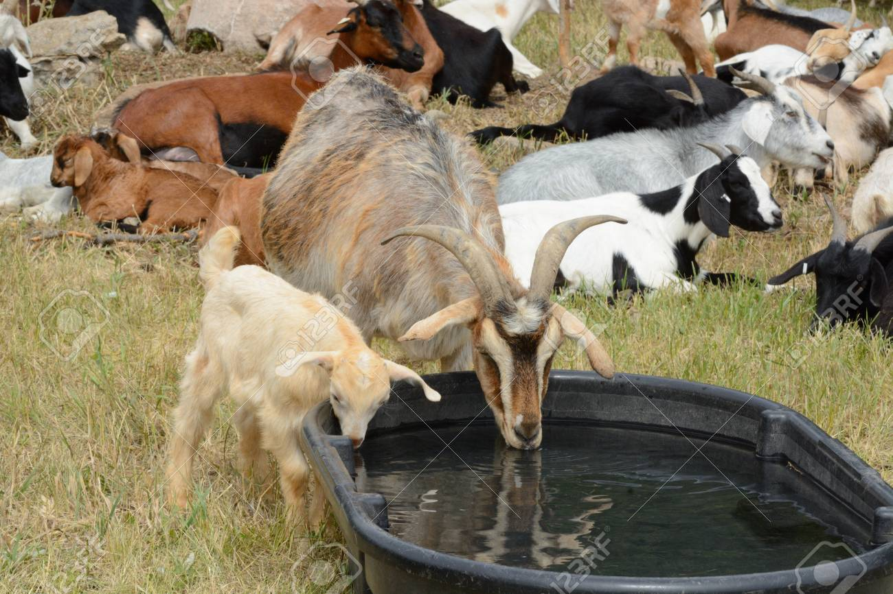mother nanny goat with baby kid goat drinking water together stock