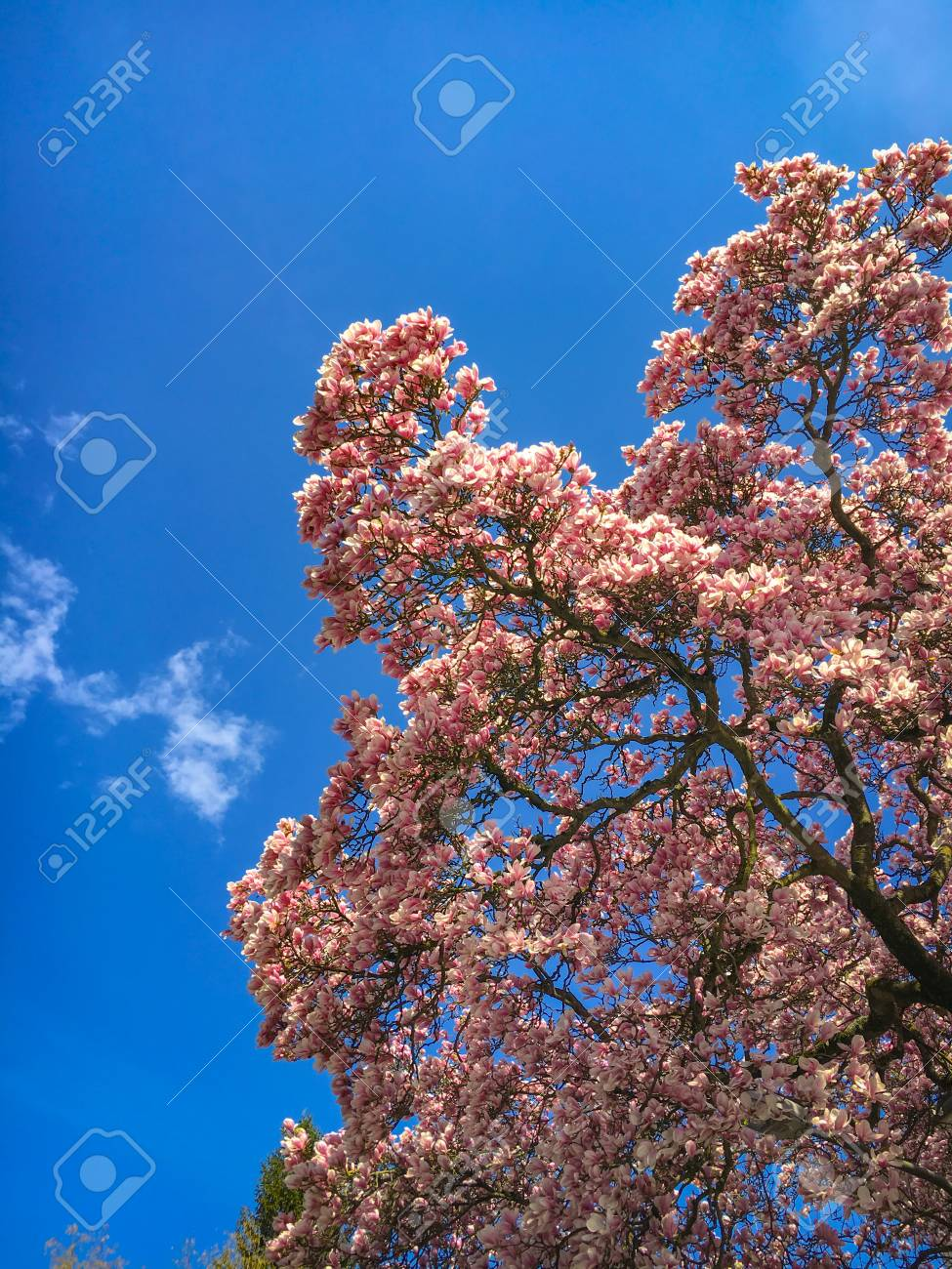 Beautiful Magnolia Tree In Full Bloom In Front Of A Blue Sky Stock
