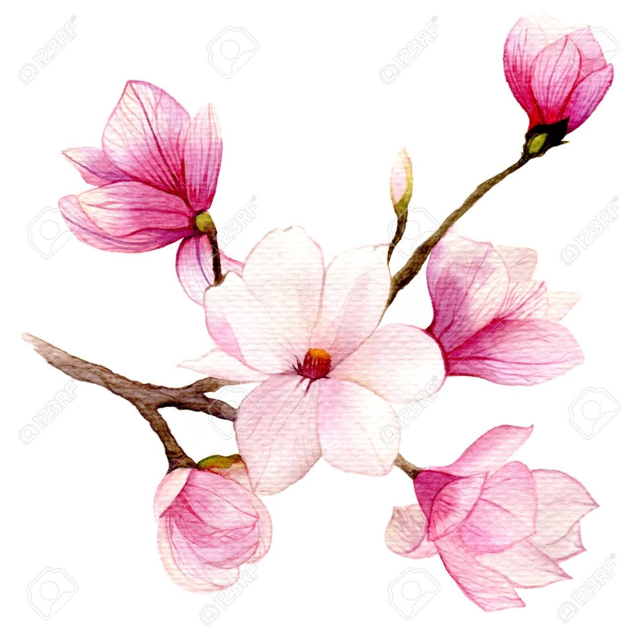 Fiori Acquerello.Spring Background With Watercolor Magnolia Flower Hand Drawn