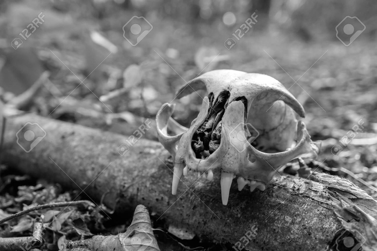 Black and white photo of the skulls of cats wild nature forest stock photo