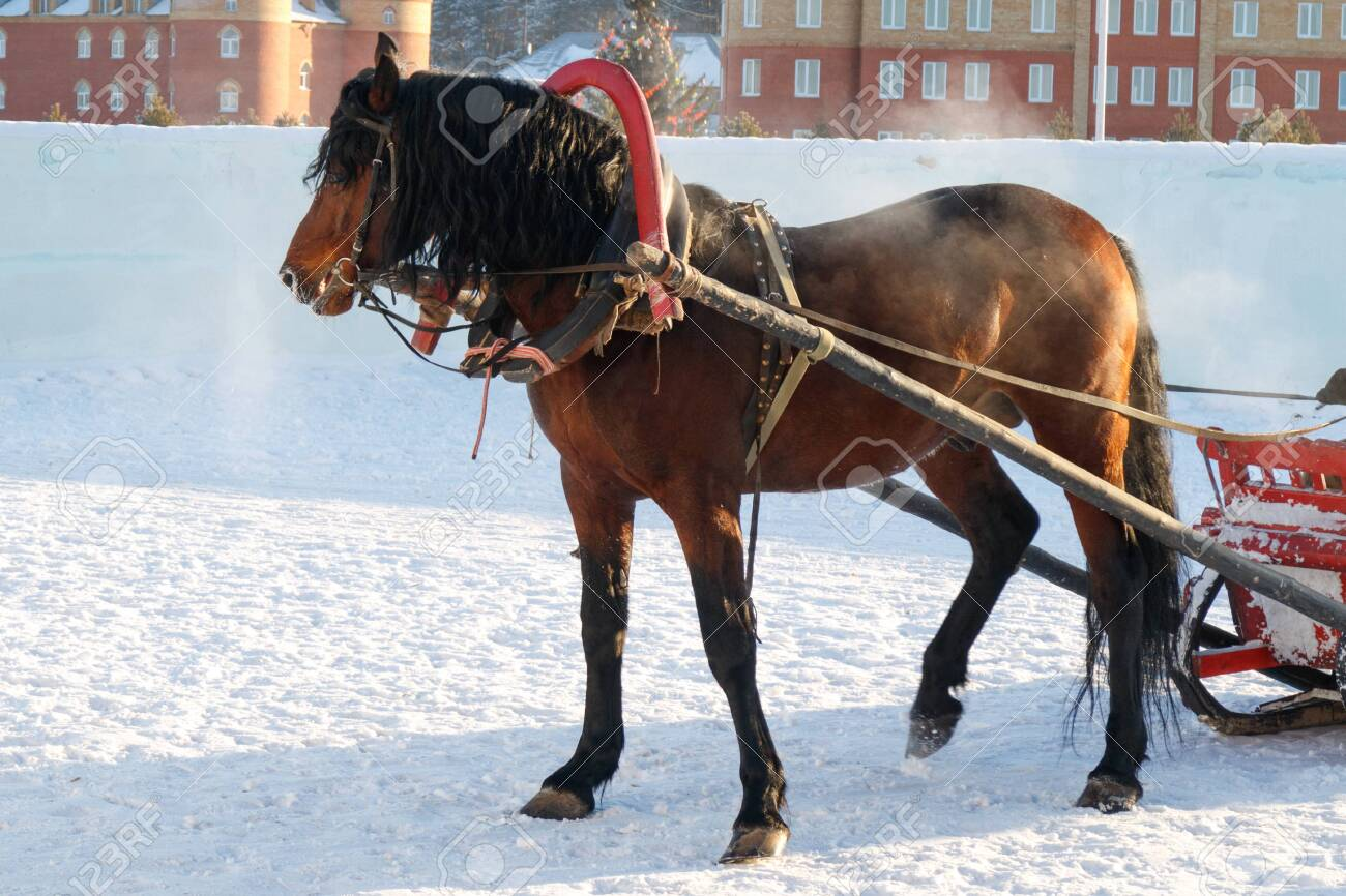 In Winter Horse Drawn Sleigh Rides Steam From The Nostrils Stock Photo Picture And Royalty Free Image Image 128128943
