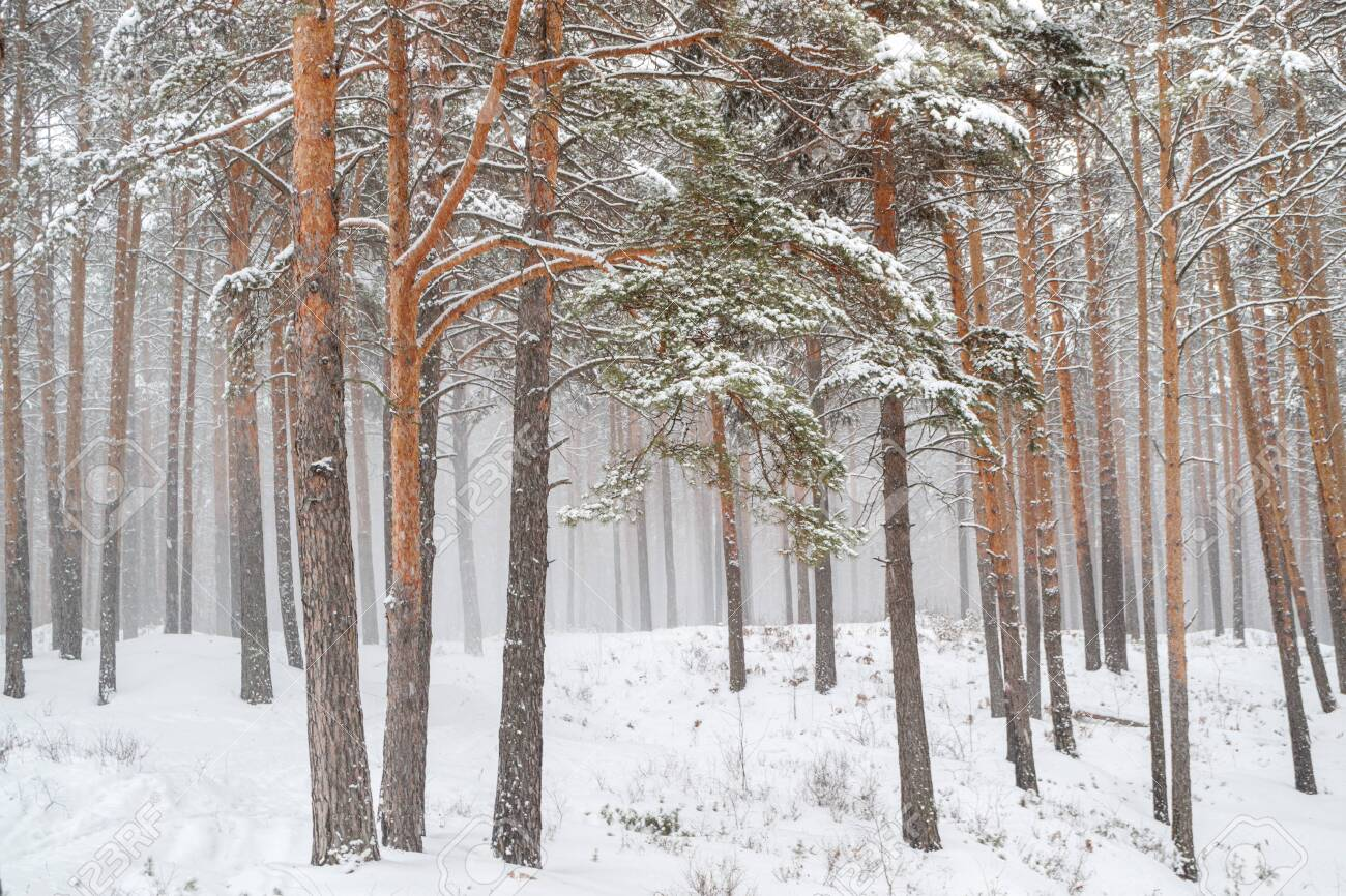 snowstorm in a pine forest trees and snow can easily get lost - 152540541