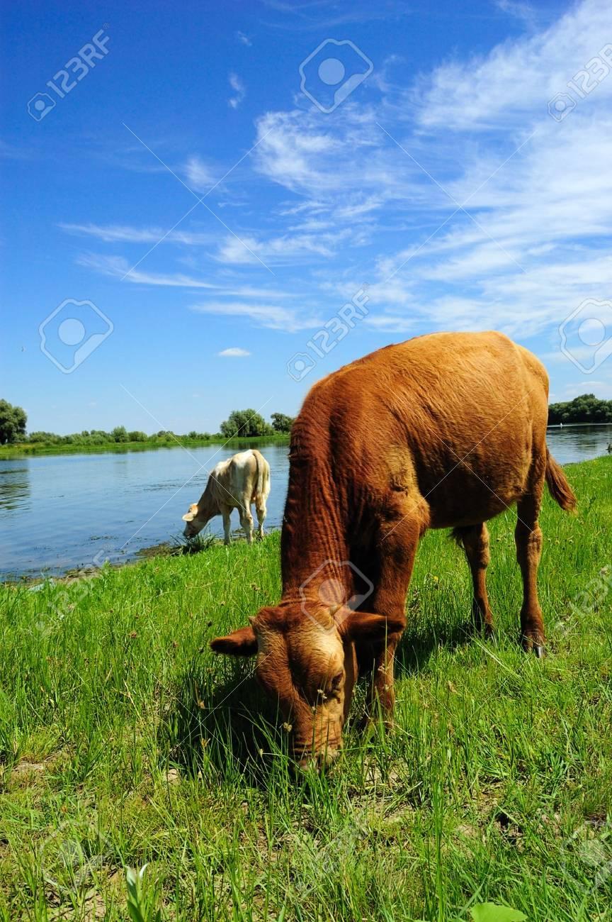 calf pasturing near the lake Stock Photo - 3499295