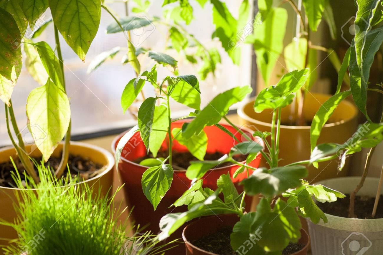 Ekologi koncept potted gröna växter på fönsterbrädan inomhus ...