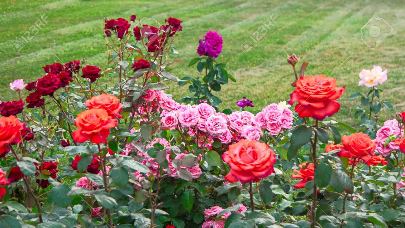 Diferentes rosas en el jardín de rosas y espacio de copia en la hierba