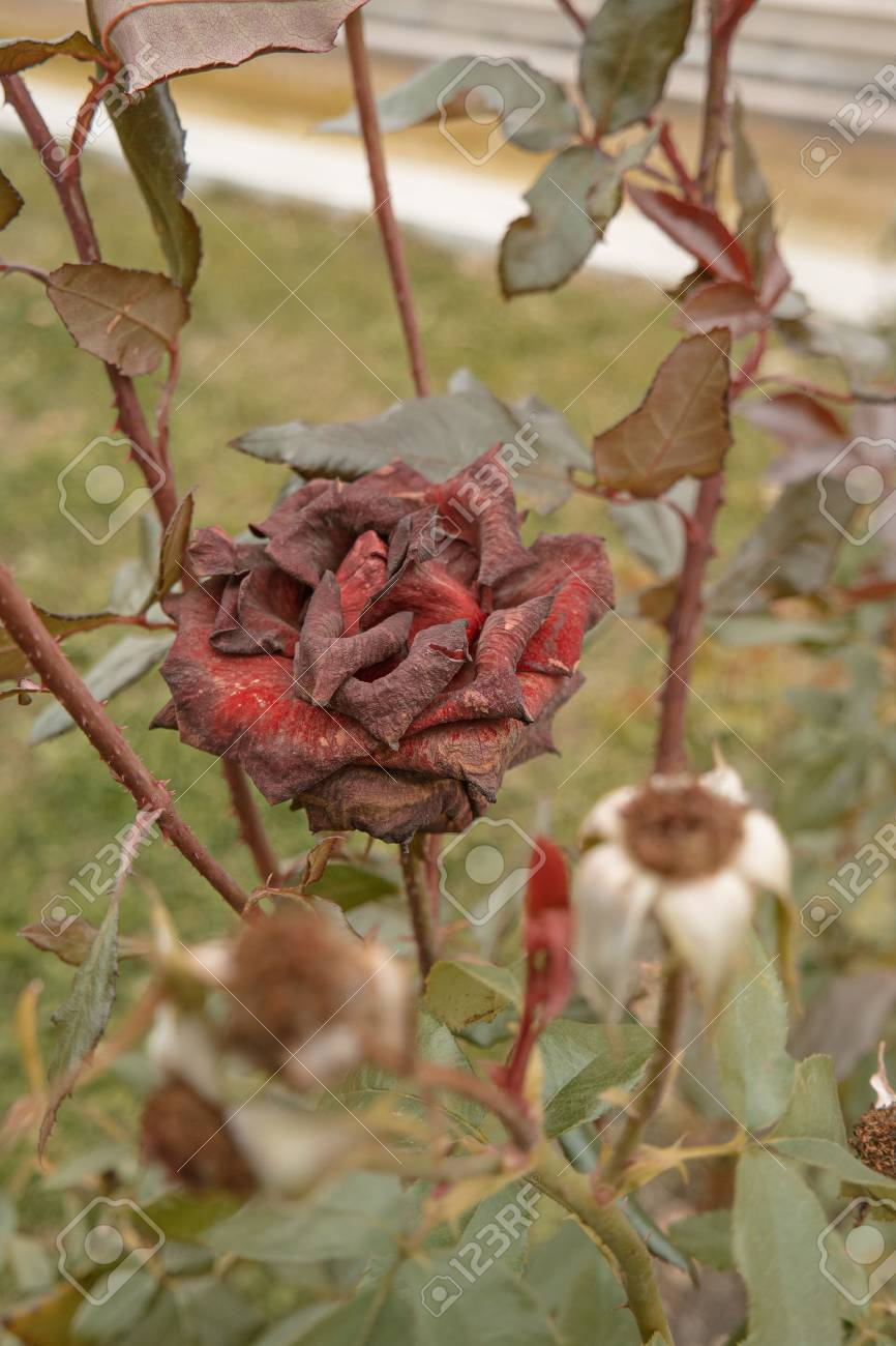 Beautiful dark red rose in the garden, selective focus, vintage color, dying plant in autumn, sad fall mood. Roses wilting in autumn garden. Rose bush in fall season. - 64952693