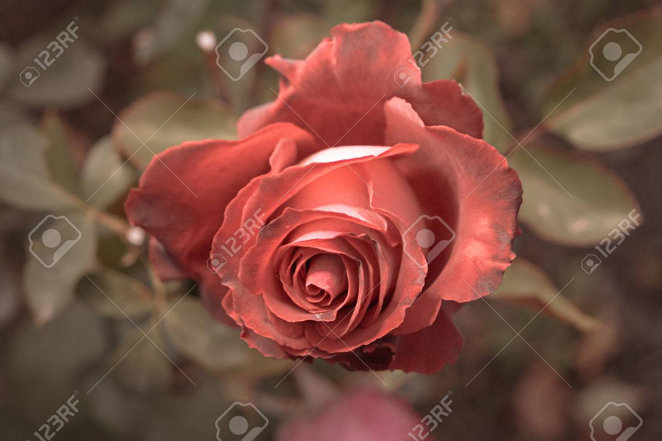 Red Rose In Autumn Garden. Two Rose Flowers Dying In Fall, A.. Stock ...