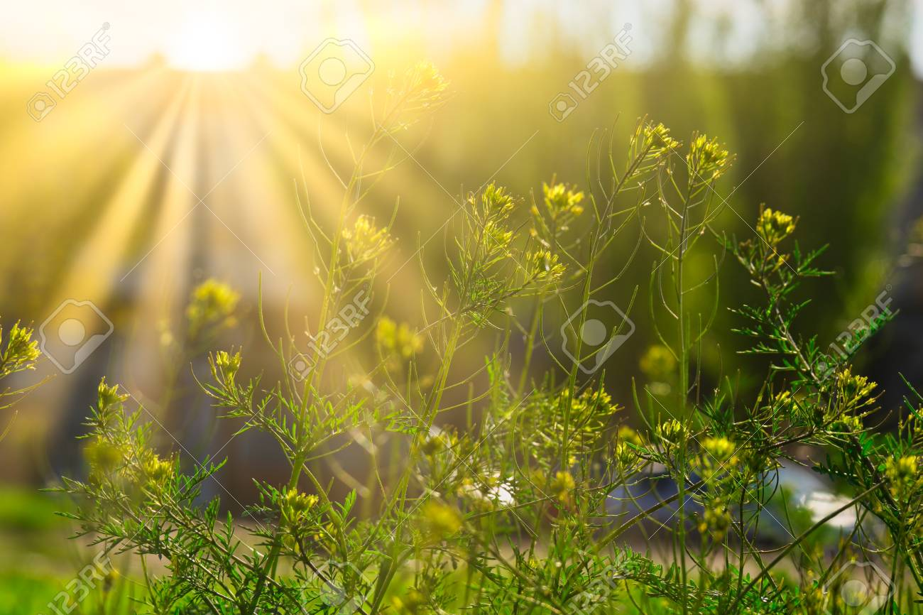 Blooming wildflowers in sunny day in light of yellow sun - 121461895