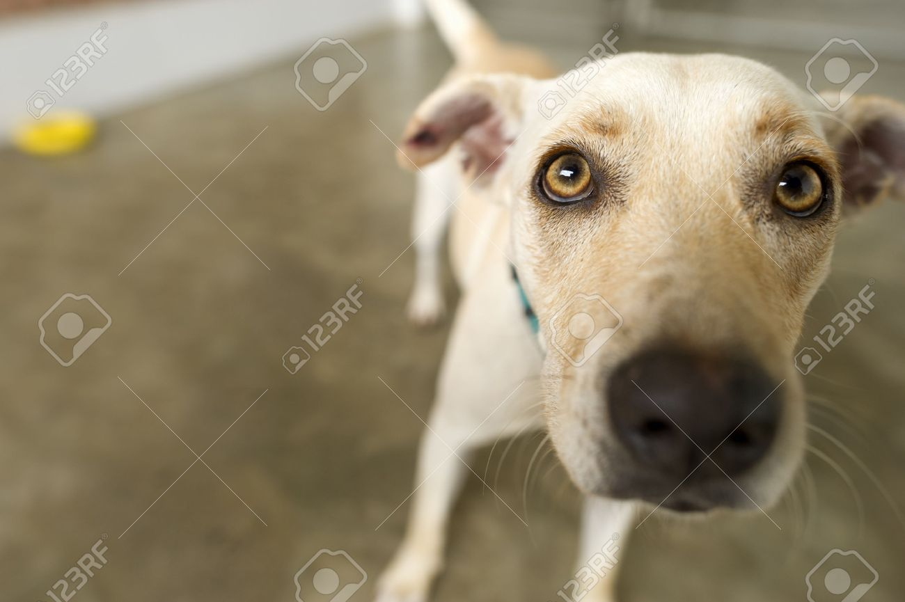 Funny Dog Is A Cute Little White Dog With Yellow Eyes Curiously - Dogs looking funny with toys
