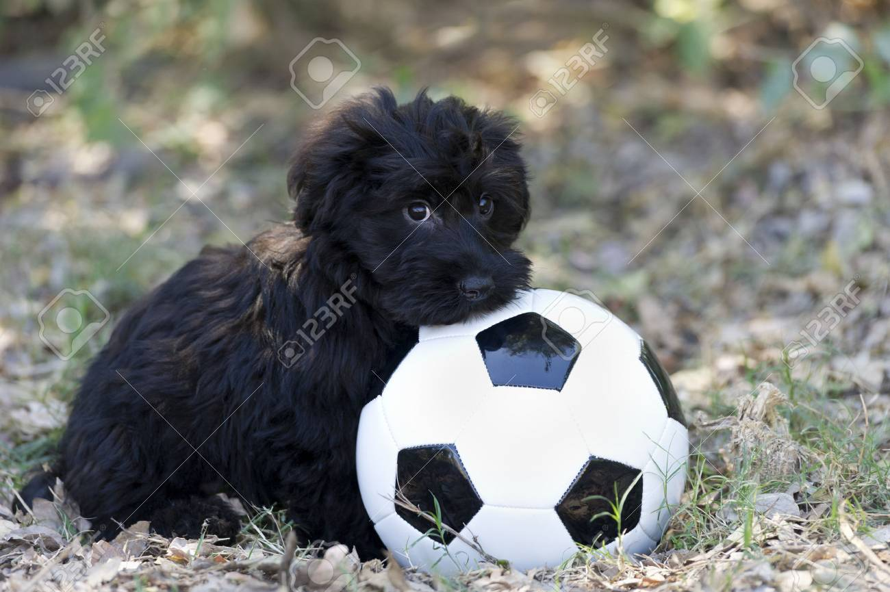 Cute Puppy Shy Is A Black Fluffy Adorable Puppy With A Ball Showing Stock Photo Picture And Royalty Free Image Image 44168630