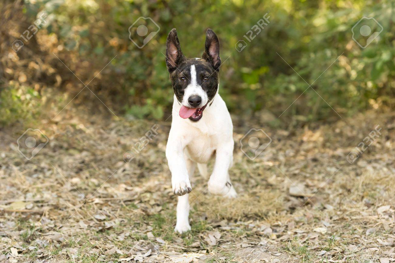 Dog Running Is A Cute Young Puppy Dog Running And Leaping At Stock