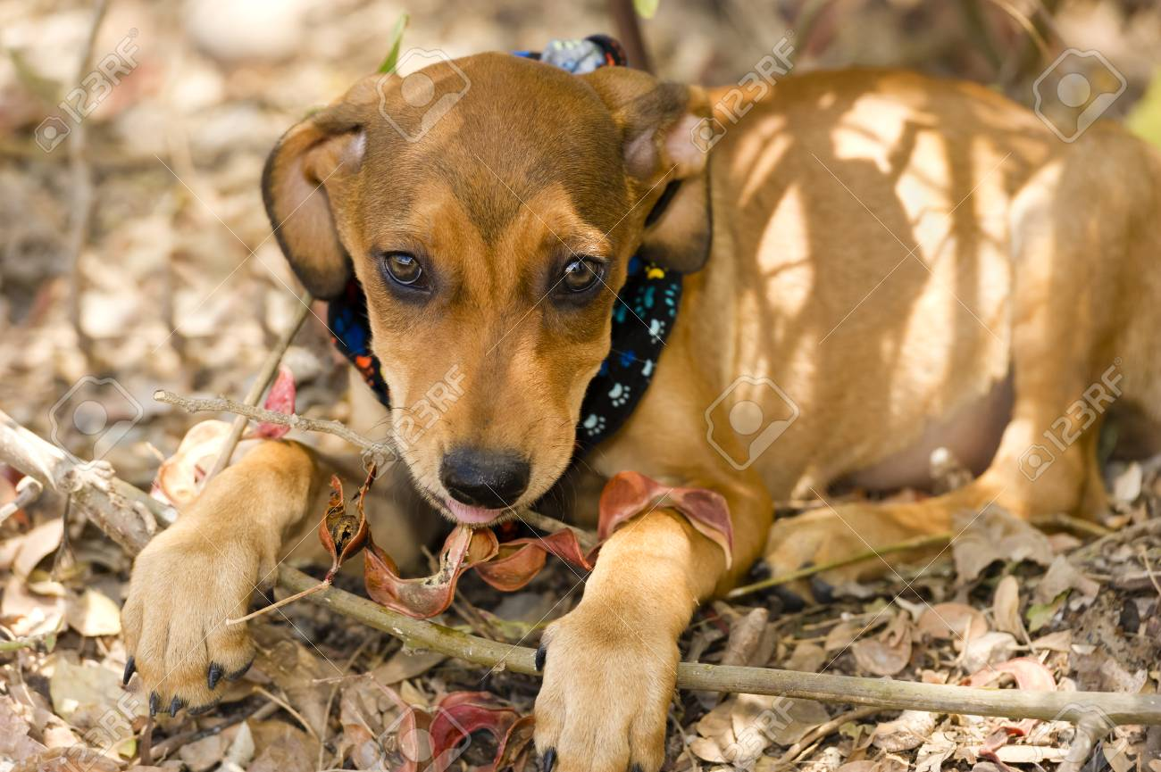 Cool Floppy Ears Brown Adorable Dog - 49170330-cute-dog-face-is-an-adorable-brown-puppy-dog-with-big-brown-eyes-and-cute-floppy-ears-looking-right-  Pictures_731143  .jpg
