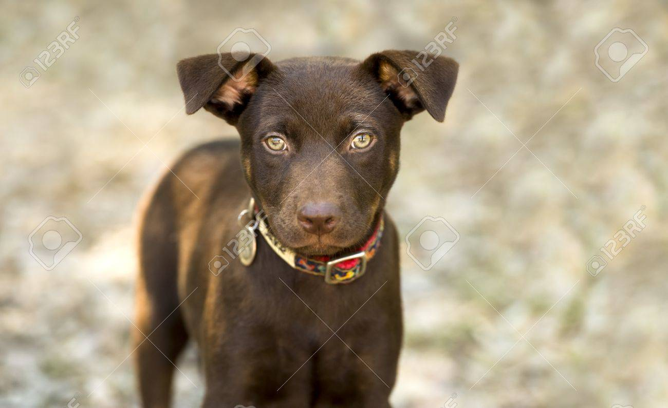 Amazing Puppy Brown Adorable Dog - 50100903-cute-dog-eyes-is-a-brown-healthy-looking-puppy-dog-looking-up-with-curiosity-  Gallery_517745  .jpg