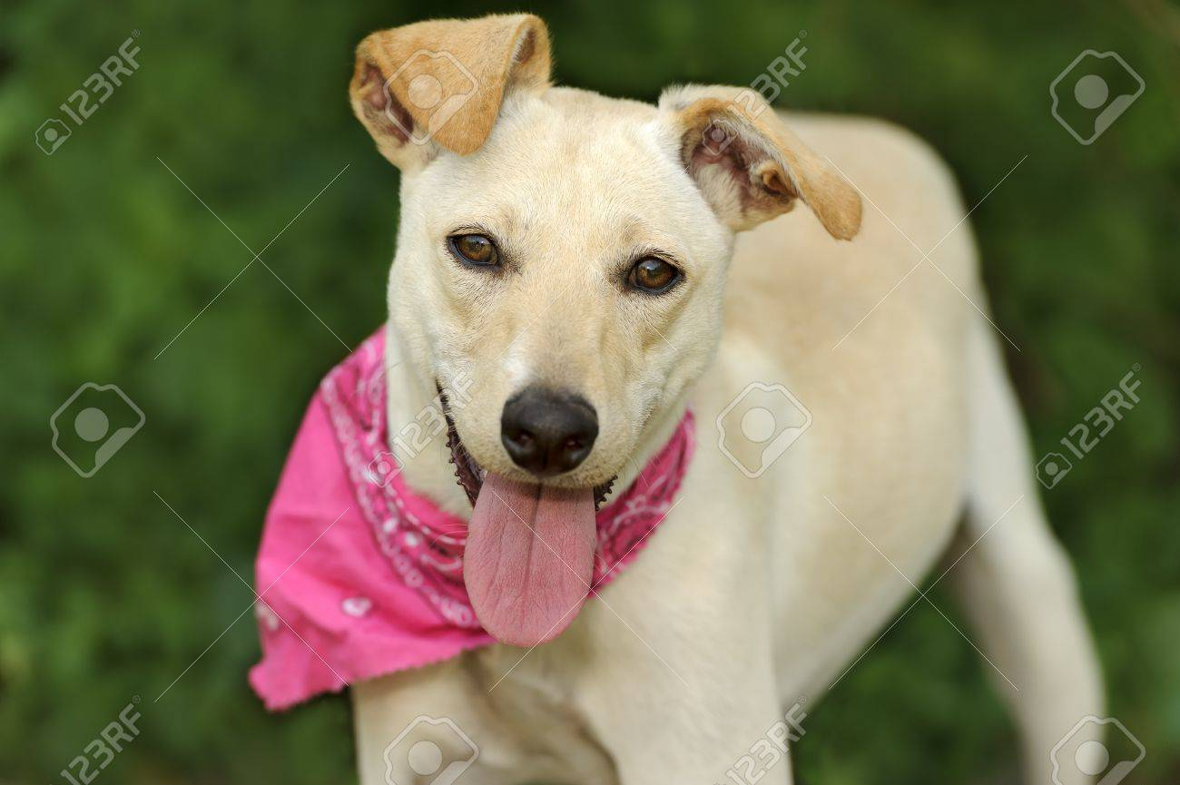 Top Floppy Ears Brown Adorable Dog - 53877260-happy-dog-is-a-white-happy-looking-dog-with-cute-floppy-ears-and-his-adorable-pink-tongue-and-glowin  Collection_709623  .jpg