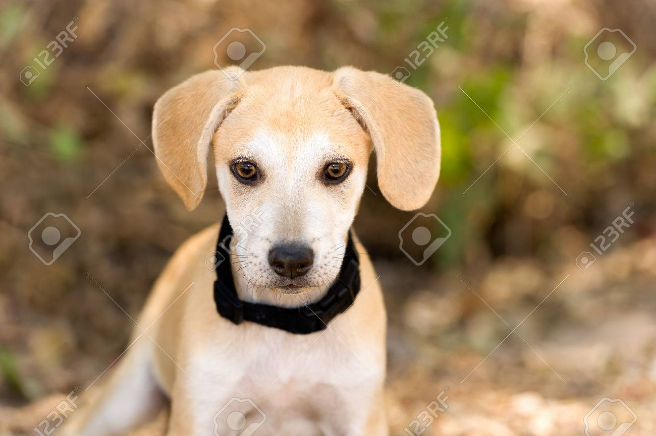 Most Inspiring Cute Canine Brown Adorable Dog - 66459675-cute-puppy-dog-is-an-adorable-little-puppy-dog-looking-at-you-with-his-big-brown-eyes-  2018_80393  .jpg