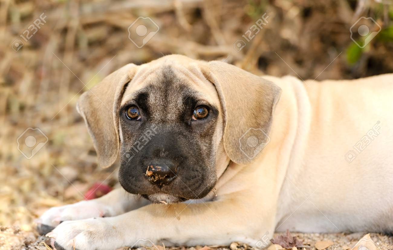 Sad Puppy Dog Is A Big Adorable Puppy With Large Brown Eyes And