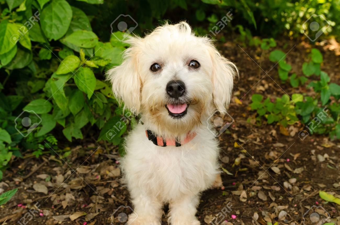 Happy Dog Is A Cute Fluffy White Little Puppy Dog With A Big Stock Photo Picture And Royalty Free Image Image 86686728