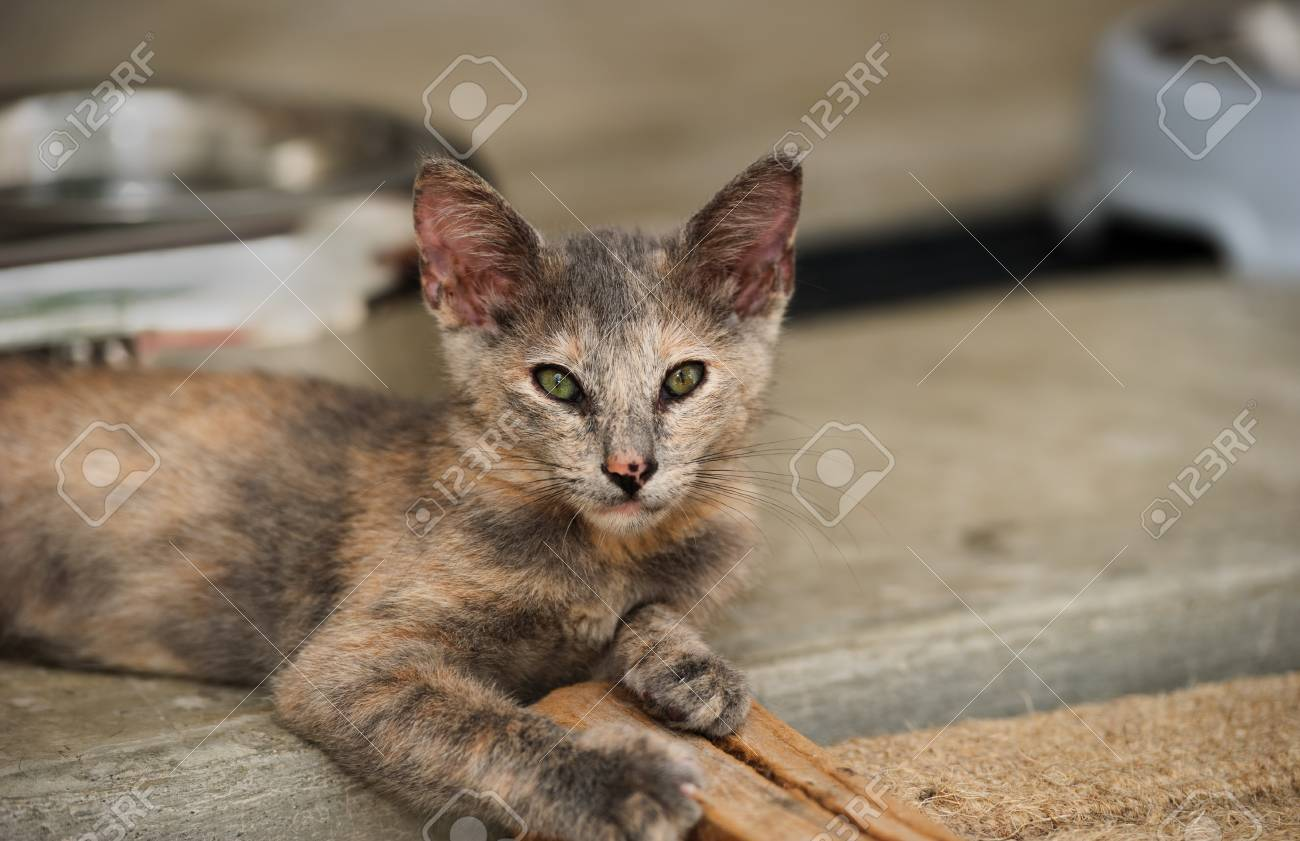 Kitten Cat Is A Cute Gray Fluffy Kitten With Beautiful Eyes And Stock Photo Picture And Royalty Free Image Image 88238837