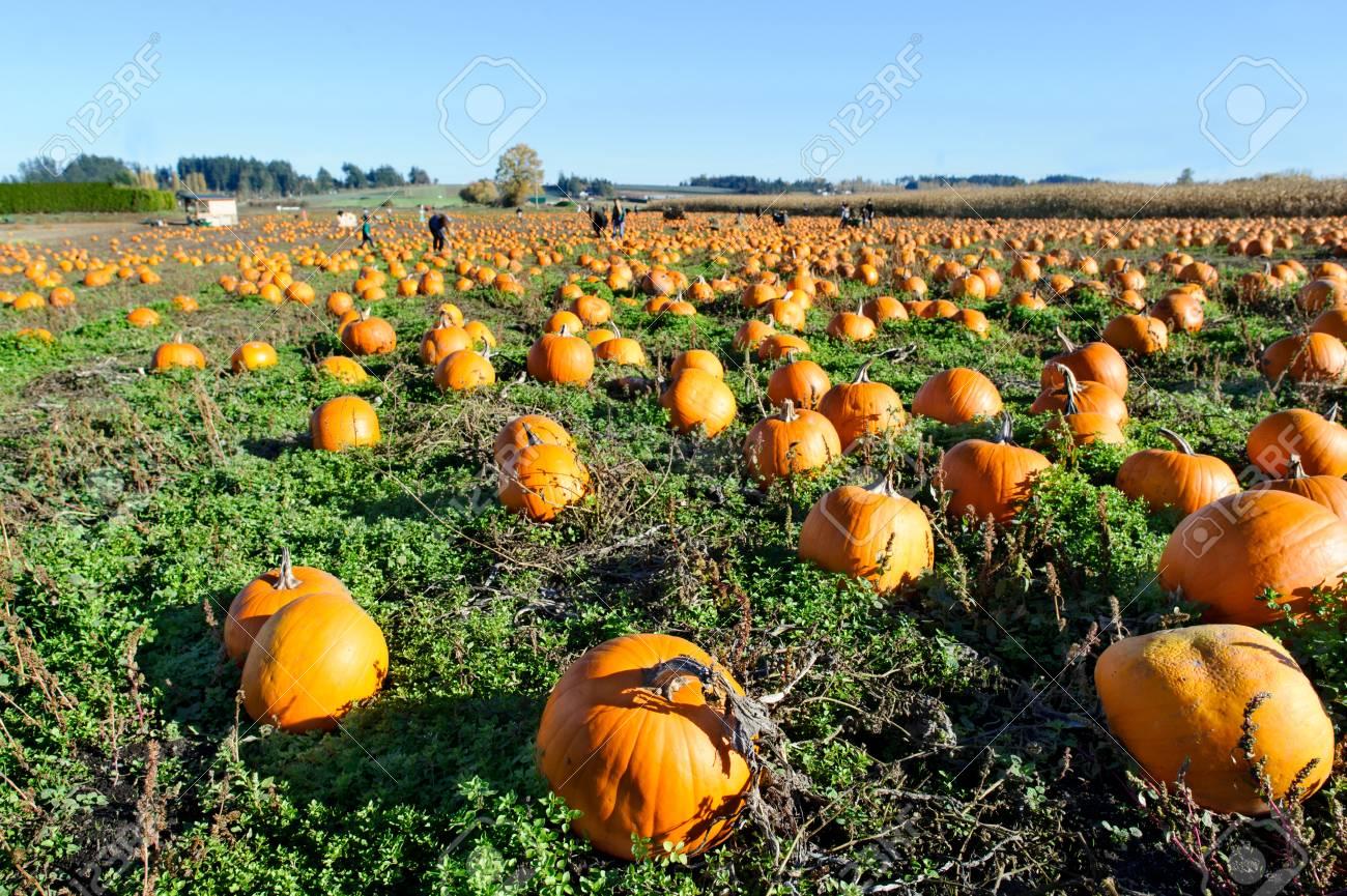 Pumkin patch is a pumkin patch field full of pumkins ready for halloween. - 89028803