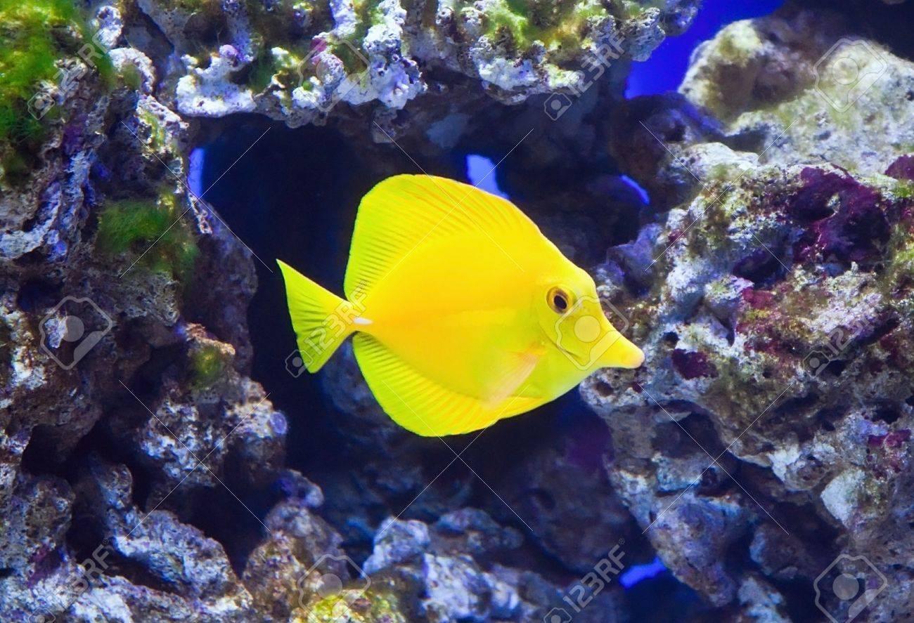 Fish for marine aquarium - Stock Photo Tropical Reef Aquarium Fish Zebrasoma