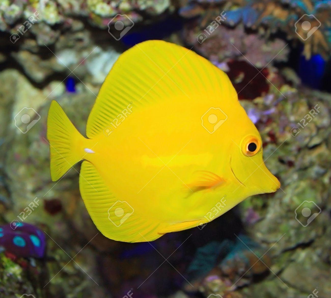 Yellow tropical ocean fish Zebrasoma Stock Photo - 11494243