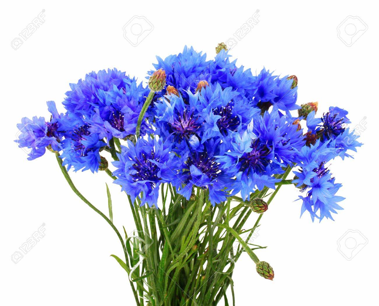 Blue brunch of cornflowers Stock Photo - 14556442