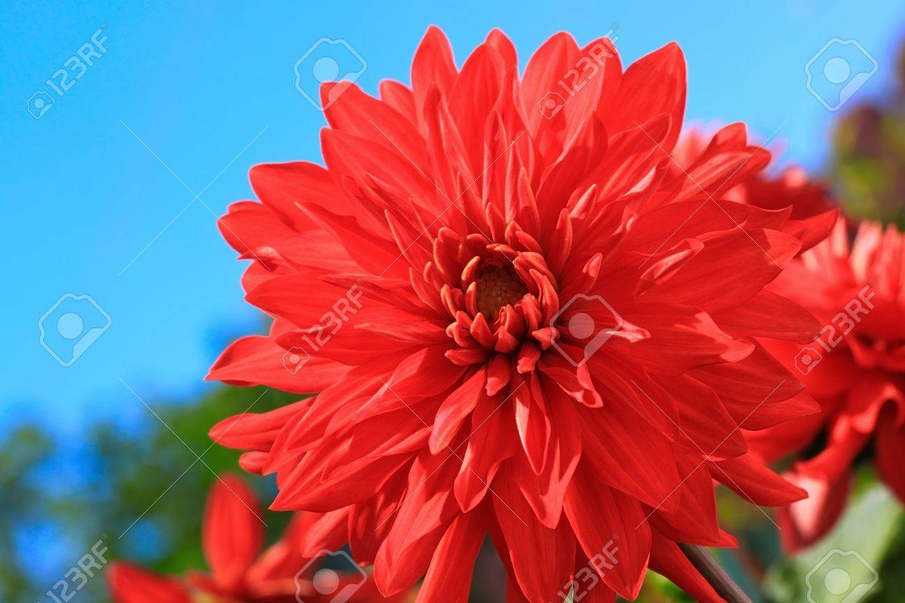 Red Dalia Flower Over Blue Sky Background Stock Photo Picture And