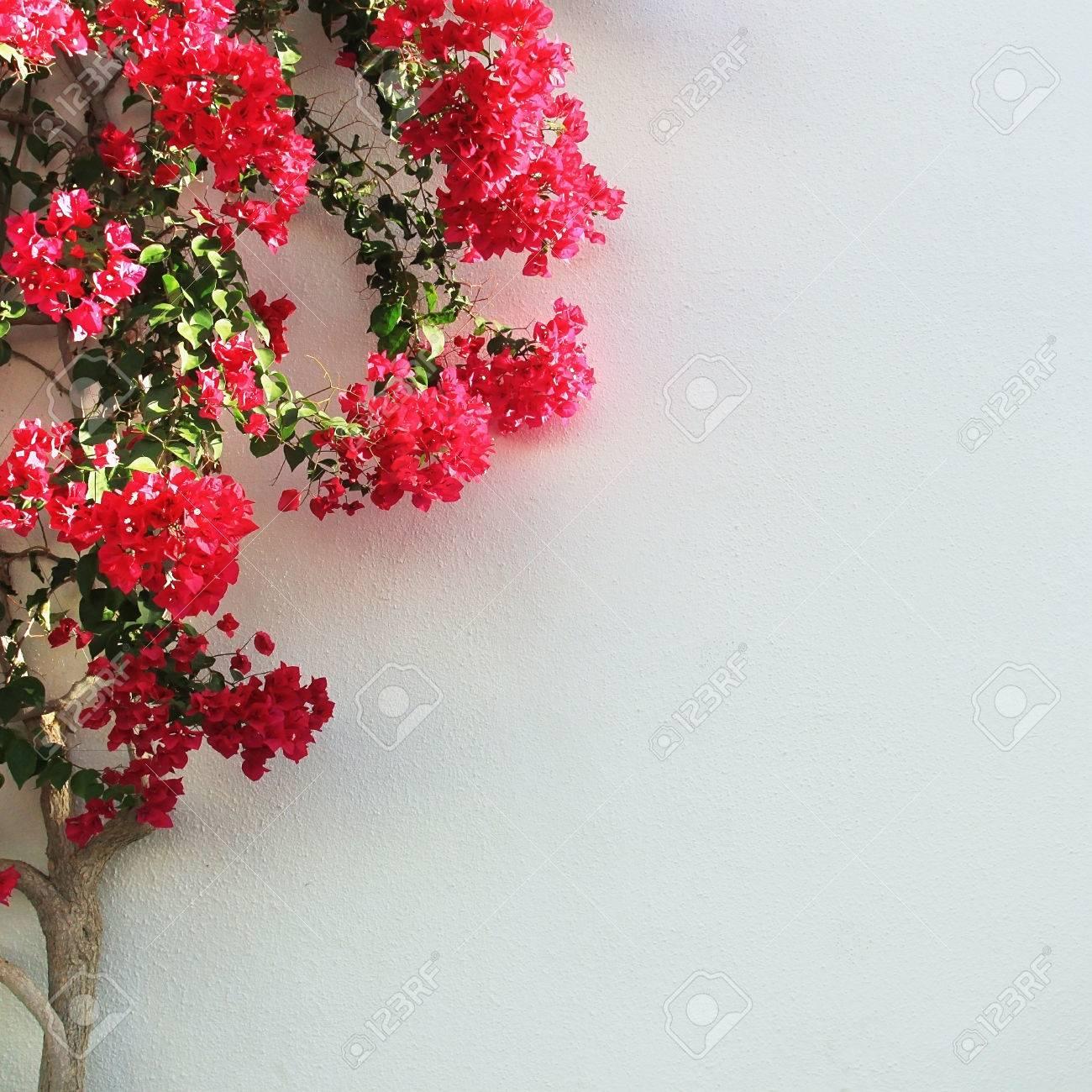 Weisse Wand Und Baum Mit Roten Blumen Lizenzfreie Fotos Bilder Und