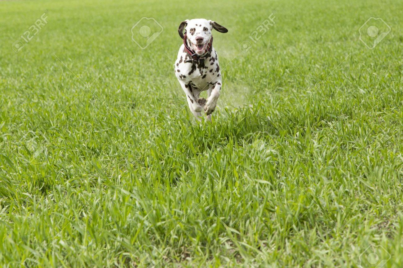 Dalmation runs to meet the dog trainer - 19374963