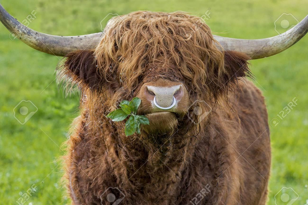 nouveau style et luxe comment trouver large choix de couleurs et de dessins Version Unfiltered de feuilles à mâcher highland taureau du bétail avec  anneau de nez de fer sur une verte prairie. Une branche avec des feuilles  ...