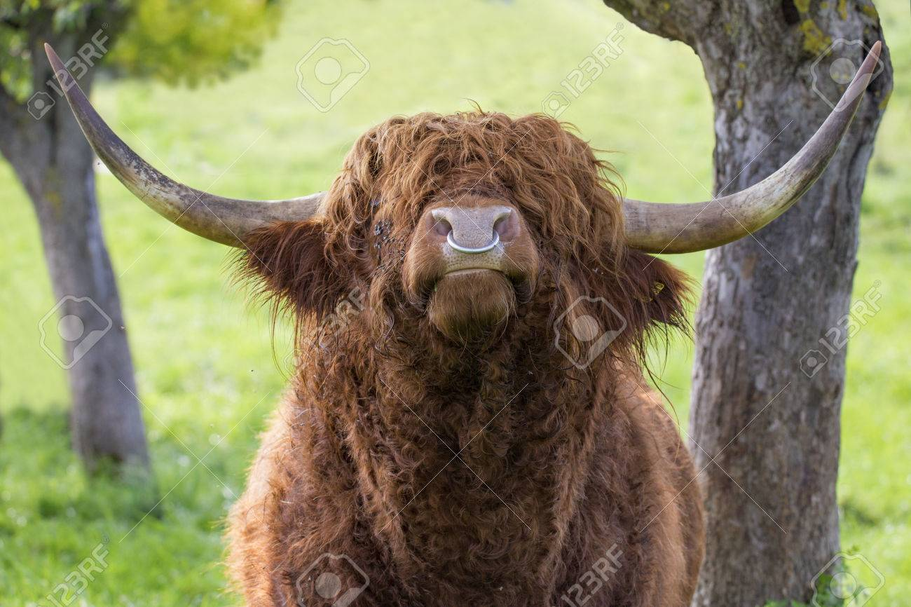 Close Up Of Leaves Highland Cattle Bull With Iron Nose Ring Stock