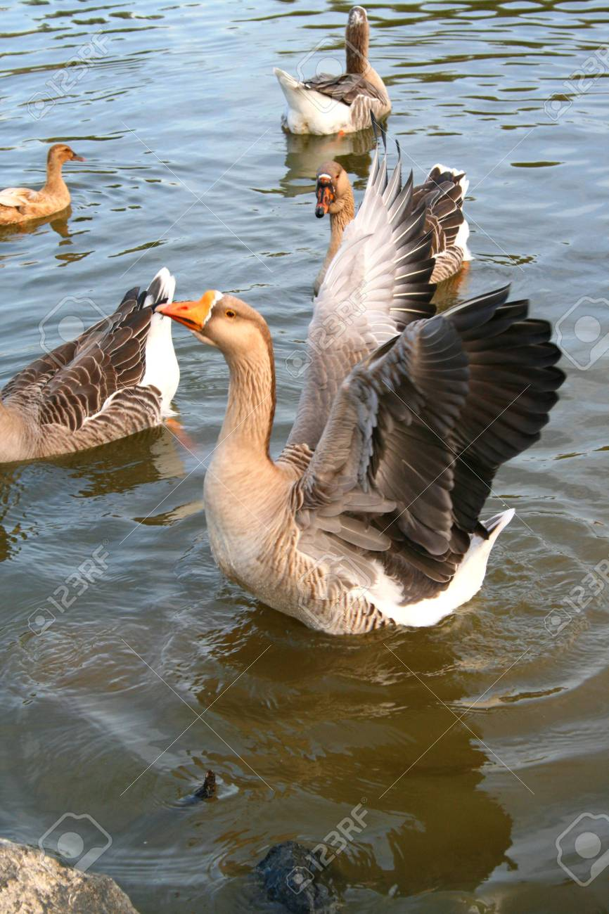 Grey goose is trying to fly back to the shore. Stock Photo - 2645142